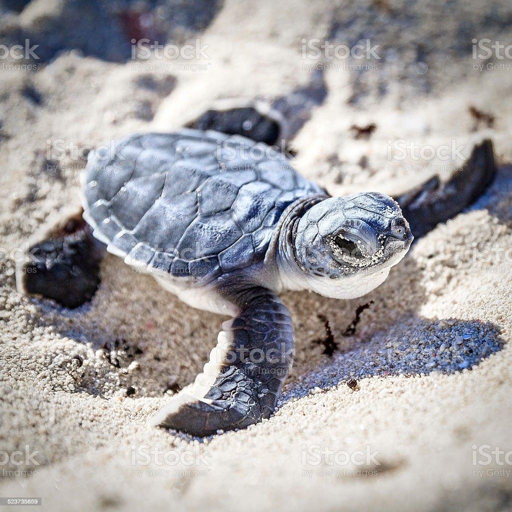 Sea turtle newborn.Semi front view. stock photo