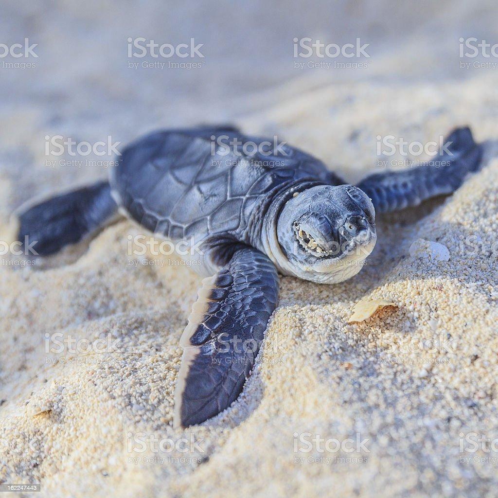 Sea turtle newborn.Semi front view.Square. stock photo
