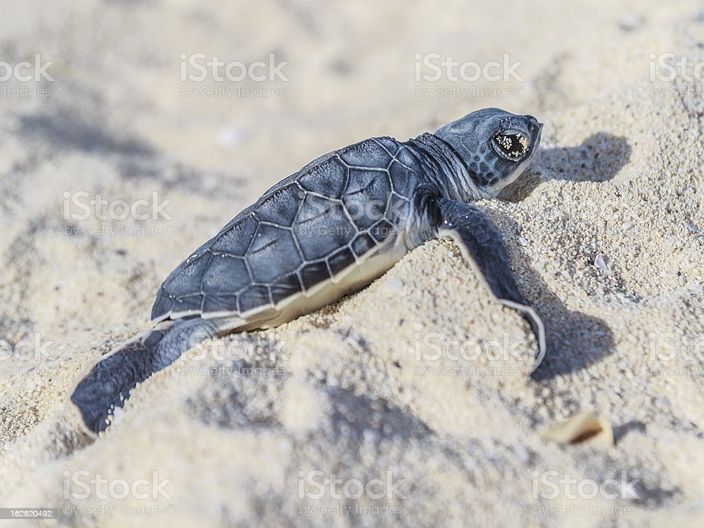 Sea turtle newborn.Side view. royalty-free stock photo