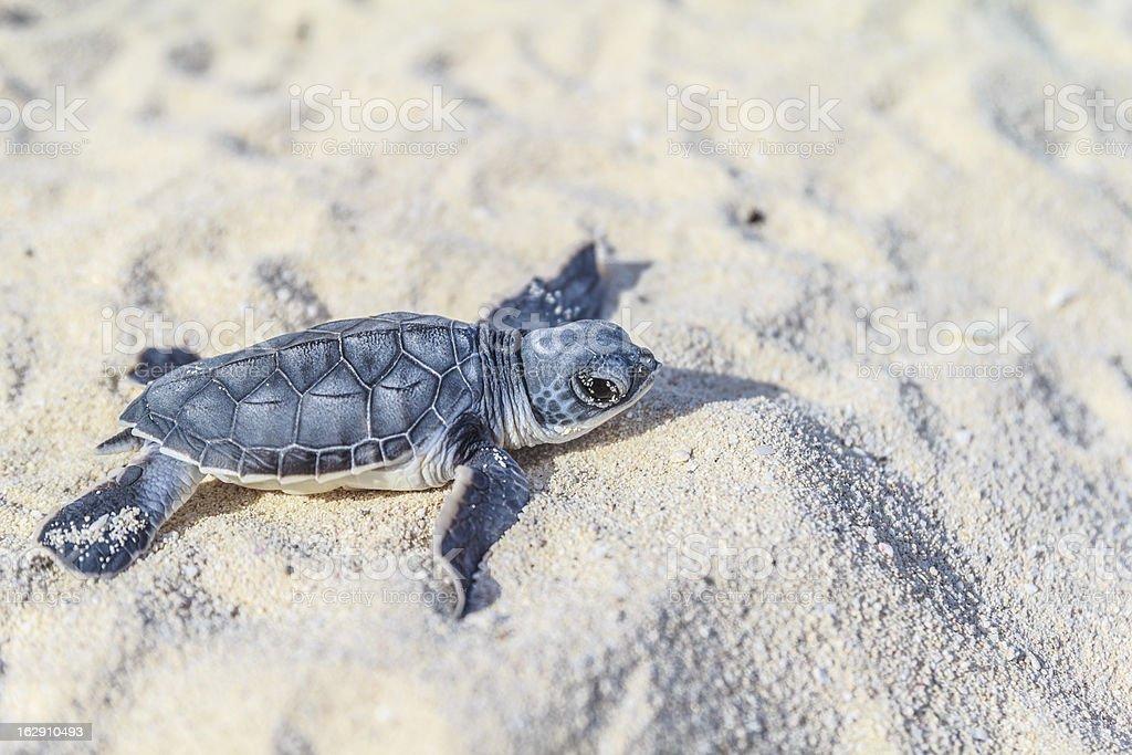 Sea turtle newborn.Side view. stock photo