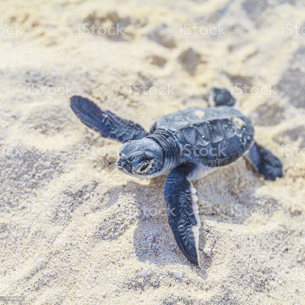 Sea turtle newborn.Square. stock photo