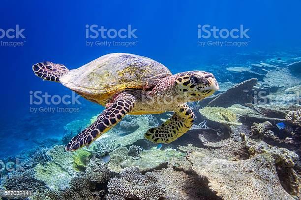 Sea turtle on maldives picture id527032141?b=1&k=6&m=527032141&s=612x612&h=el9j1lpeh3zowg063cjxwcvtvvq4hqtwtvnjei8nbzy=