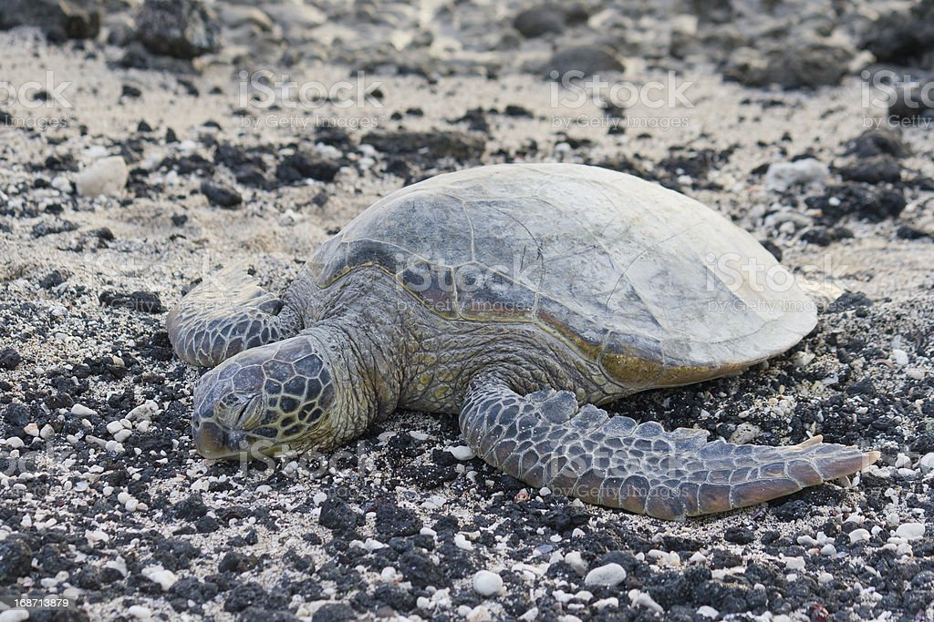 Sea turtle on the rocky, black and white beach. royalty-free stock photo