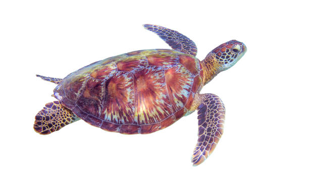 sea turtle on white background. marine tortoise isolated. green turtle photo clipart. - tartaruga marina foto e immagini stock