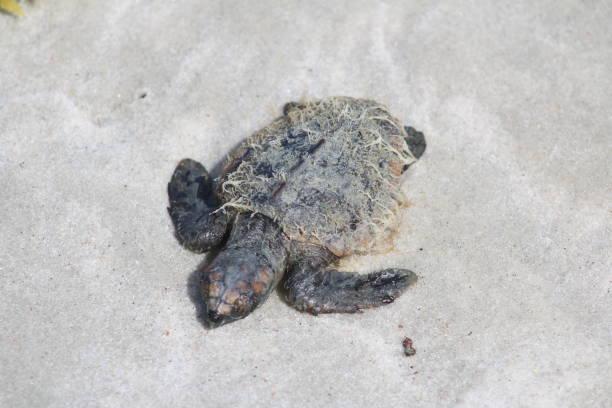 Sea turtle on white sand stock photo