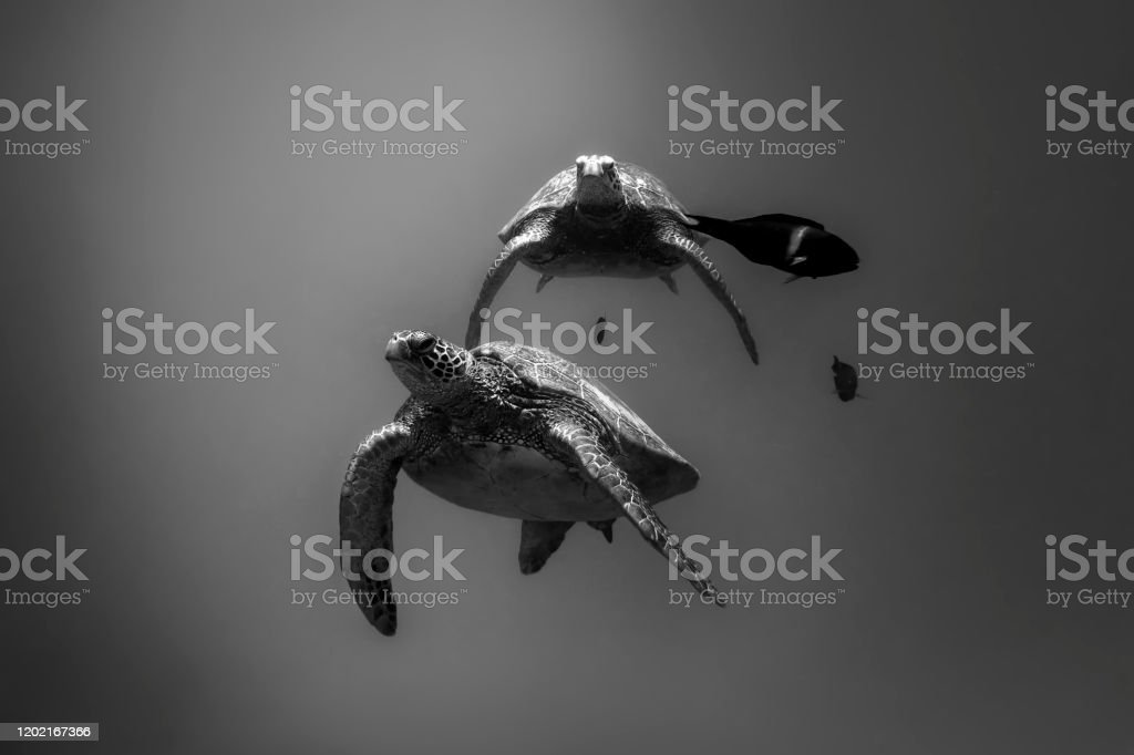Sea Turtle Black and white photo of Sea Turtles, Oahu Hawaii Animal Stock Photo