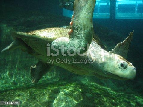 A Sea Turtle swimming.