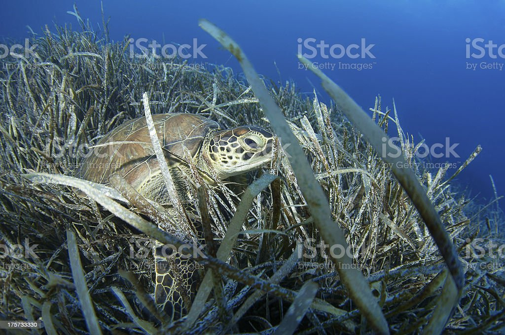 Sea Turtle royalty-free stock photo
