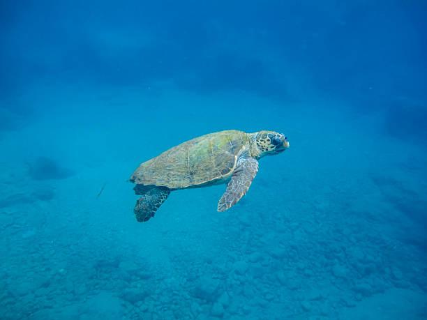 sea turtle - leatherback stockfoto's en -beelden