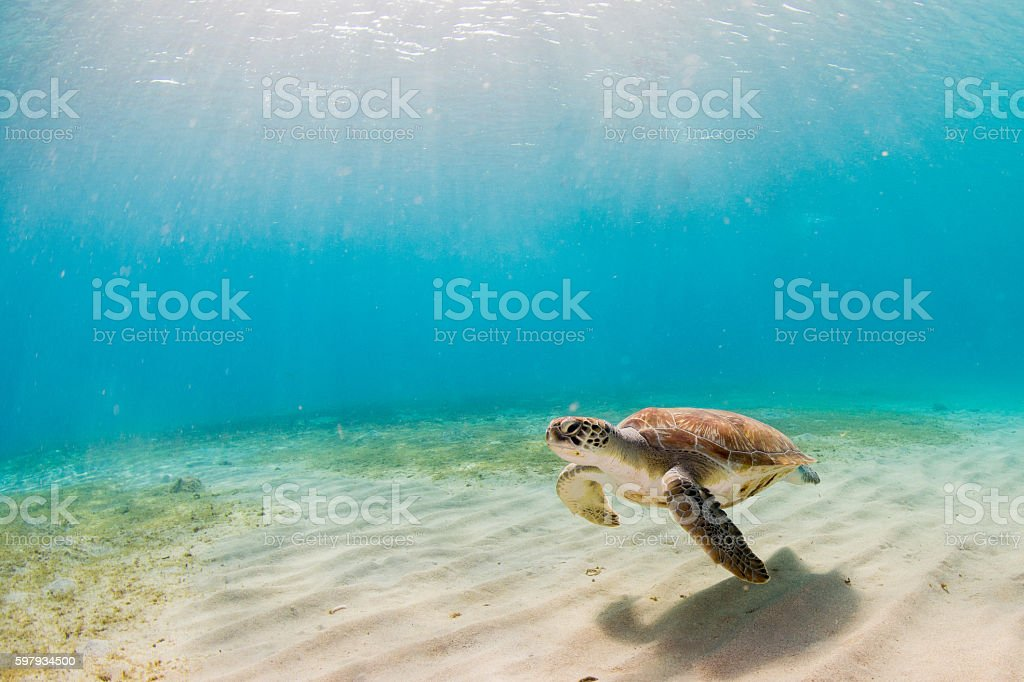 Tortue de mer  - Photo
