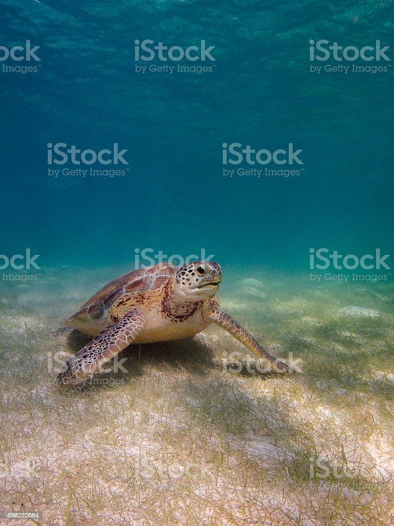 Tartaruga-marinha  foto royalty-free