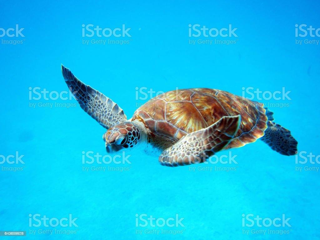 Tartaruga-marinha  - foto de acervo