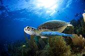 海ウミガメ