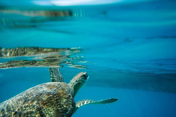 zeeschildpad - leatherback stockfoto's en -beelden