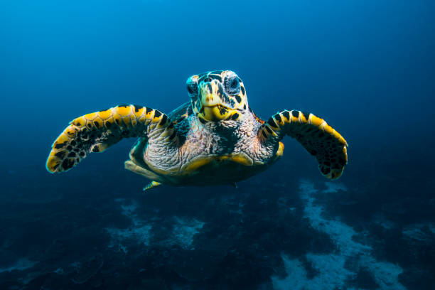 Sea Turtle A sea turtle in Raja Ampat in Indonesia marine life stock pictures, royalty-free photos & images