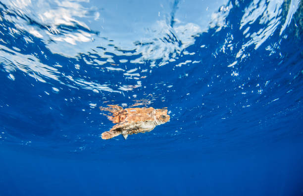 Sea Turtle release at the Bahamas stock photo