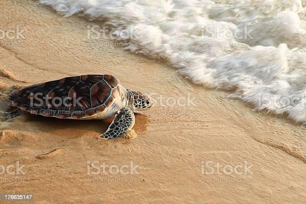Sea turtle release picture id176635147?b=1&k=6&m=176635147&s=612x612&h=xyw7tzdpjwn6wsddsxggpql5vnvwlfknlena8jxyjke=