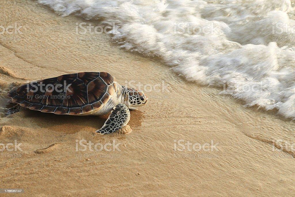 Sea turtle release. stock photo