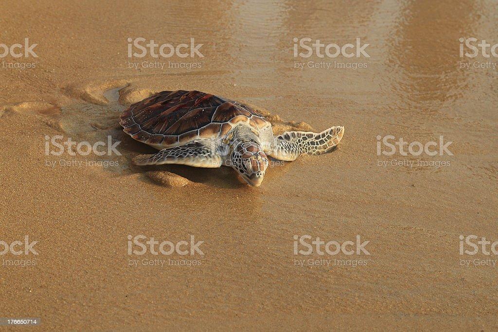 Sea turtle release. royalty-free stock photo