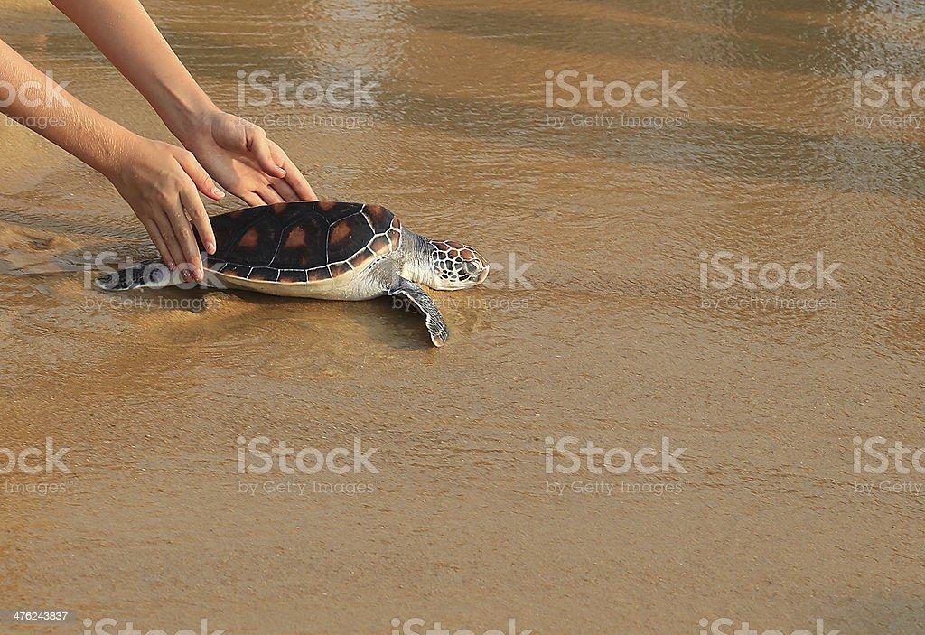 Sea turtle release stock photo