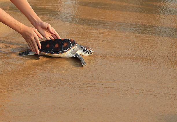 meeresschildkröte-release - rettungsinsel stock-fotos und bilder