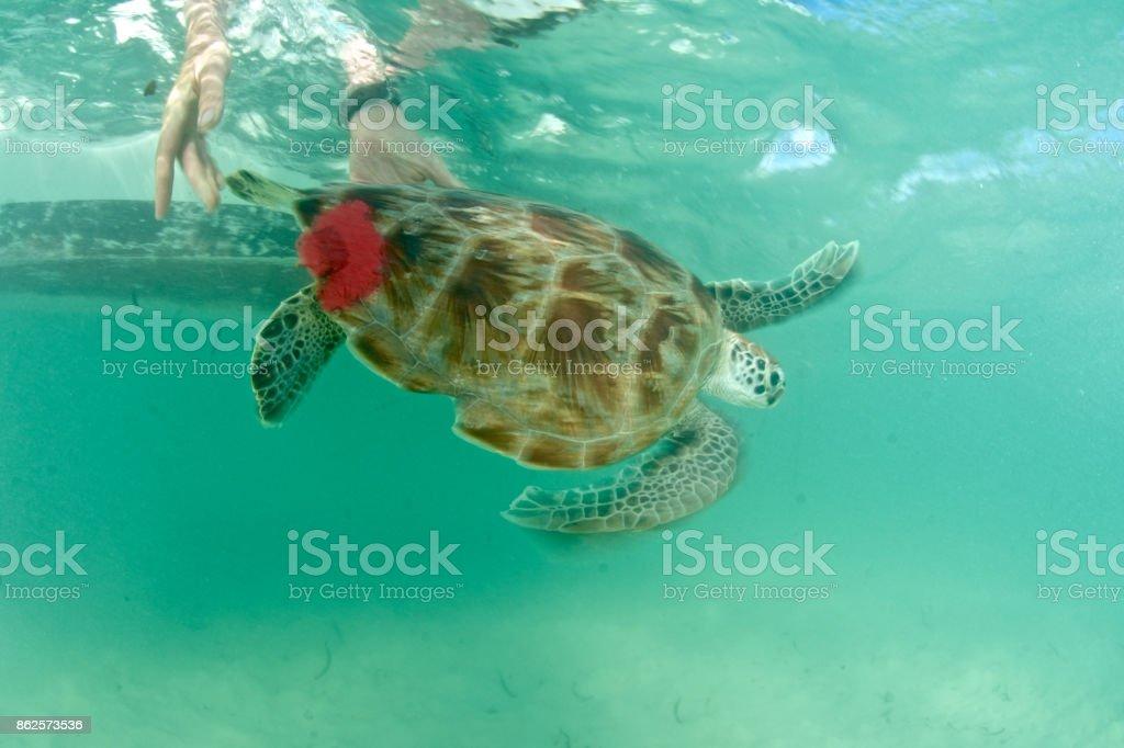 sea turtle research stock photo