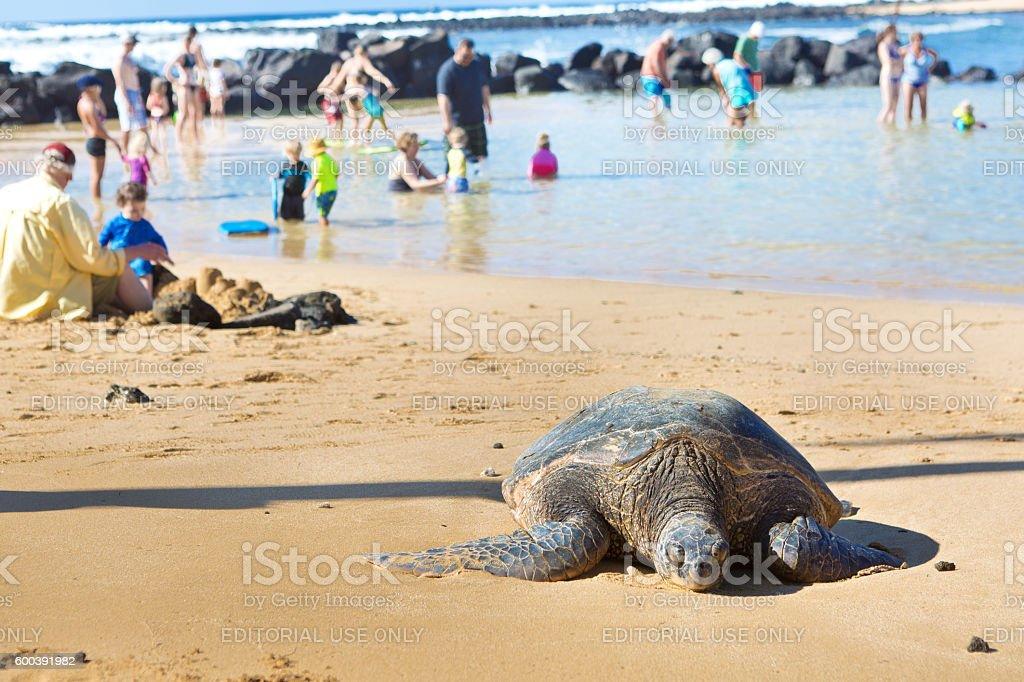 Sea Turtle Resting on the Beach in Kauai stock photo