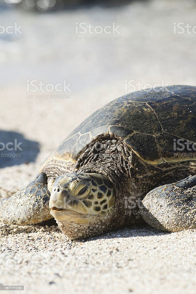 Sea Turtle resting on the sandy beach , Oahu Hawaii royalty-free stock photo