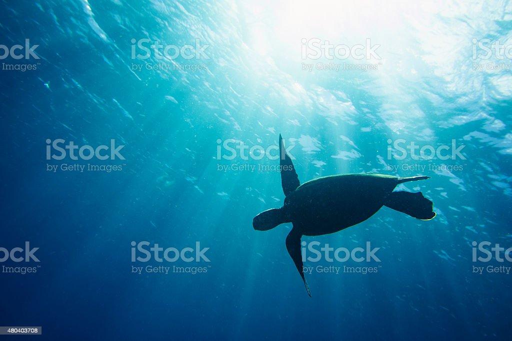 Sea turtle silhouette stock photo