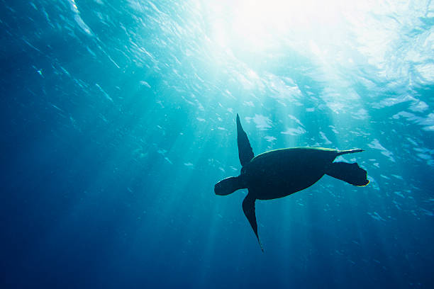 Sea turtle silhouette stock photo