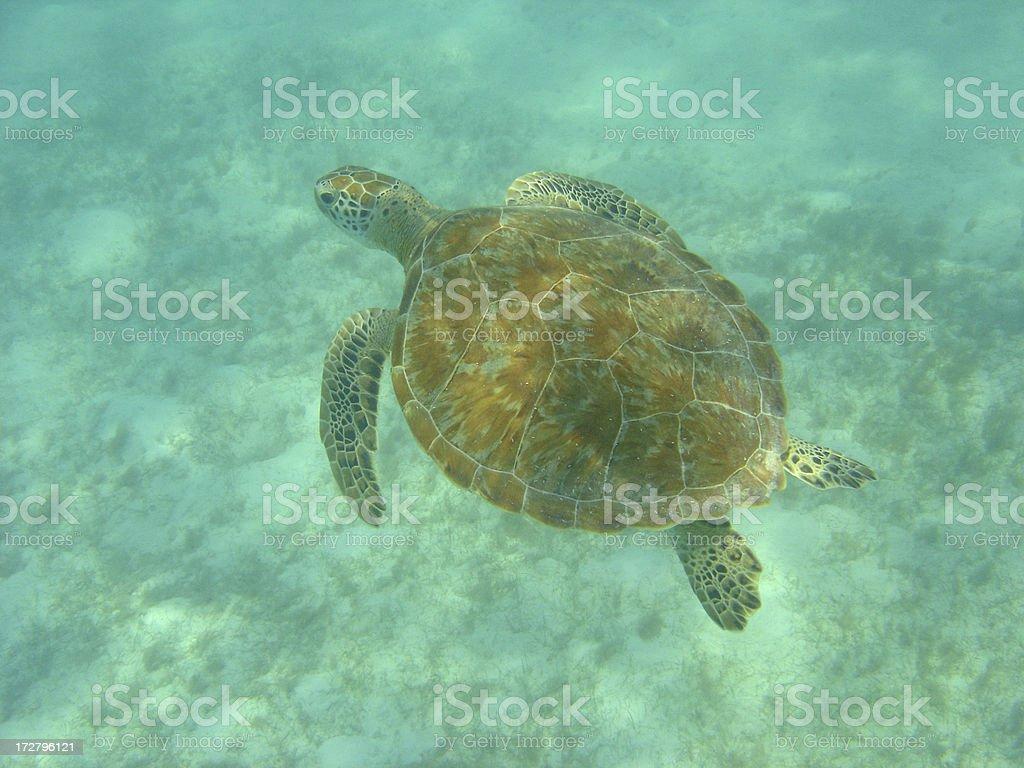Sea Turtle Snorkeling royalty-free stock photo