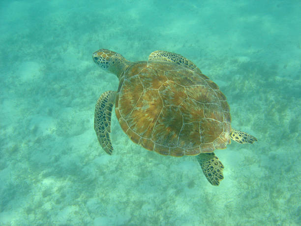 sea turtle snorkeling - leatherback stockfoto's en -beelden