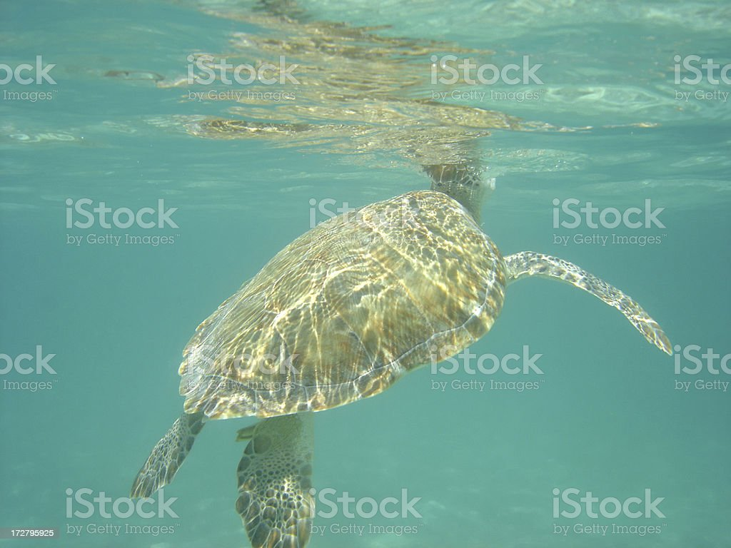 Sea Turtle Surfacing royalty-free stock photo