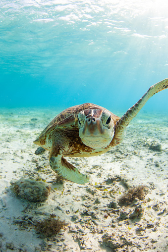 A close up of a lone Sea Turtle swimming along underwater in shallow crystal clear waters.