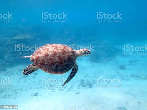 Sea turtle swimming in turquoise blue water picture id1158223772?b=1&k=6&m=1158223772&s=612x612&h=d3twzjiknczfl pn3klk6dyu4lnjb5avxjj7l3dgfea=