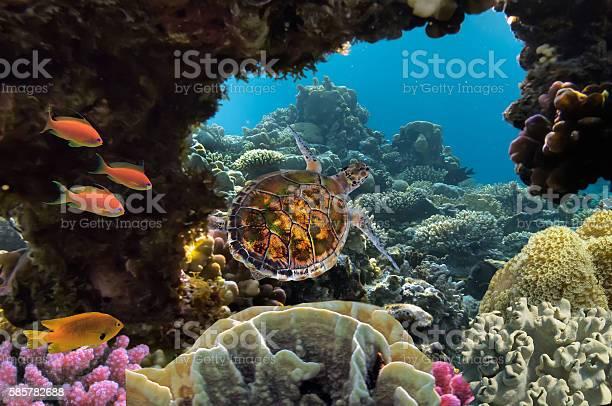 Sea turtle swimming over coral reef picture id585782688?b=1&k=6&m=585782688&s=612x612&h=qgpya6crdobtt88myyyqxrlvzxe8yoh1favgxitcktq=