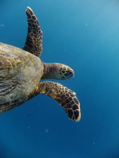zeeschildpad zwemmen - leatherback stockfoto's en -beelden