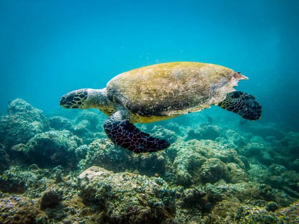 meeresschildkröten schwimmen - kapverdische inseln stock-fotos und bilder