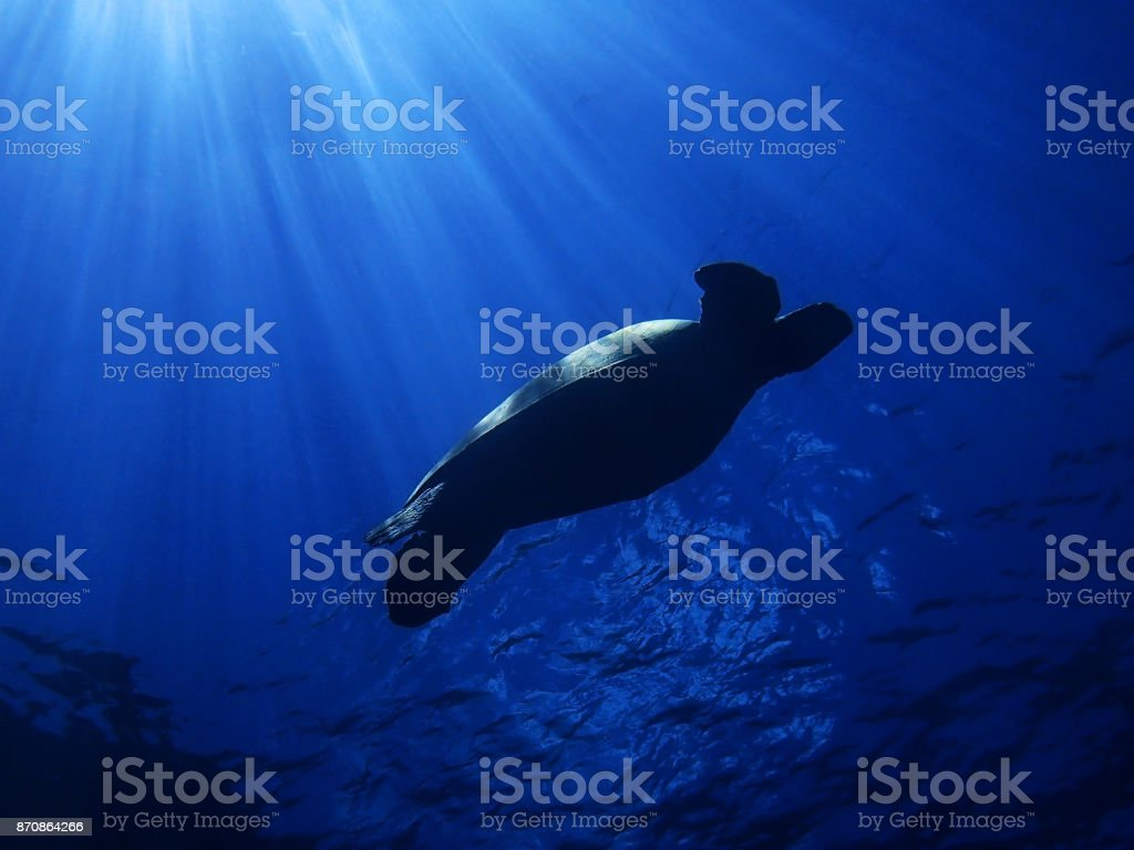 Sea Turtle Swimming with Morning Sun Rays Hitting Back stock photo