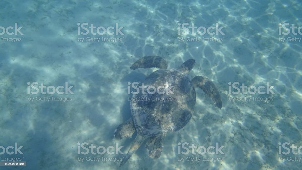 A large Sea Turtle playing host to two attached striped Remora swims...