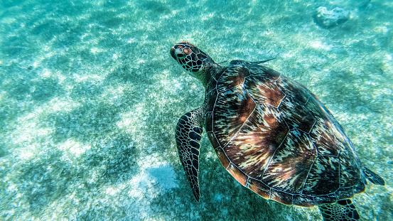istock Sea turtle swims in sea water, Olive green sea turtle closeup. Wildlife of tropical coral reef, Aquatic animal underwater photo. 1155979494
