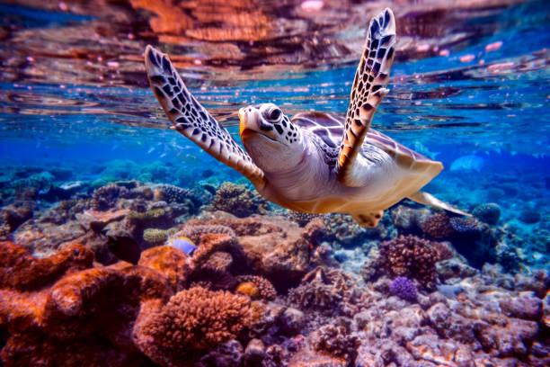 Meeresschildkröte schwimmt unter Wasser auf dem Hintergrund der Korallenriffe – Foto