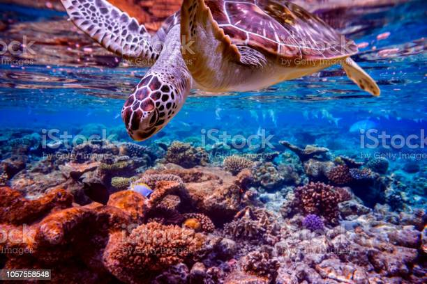 Sea turtle swims under water on the background of coral reefs picture id1057558548?b=1&k=6&m=1057558548&s=612x612&h=ssn2tq7npoldekcj b7 bulkl3faenf0td xykukh3o=