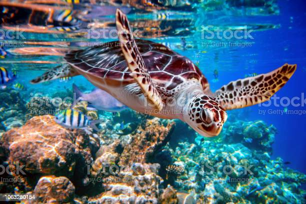 Sea turtle swims under water on the background of coral reefs picture id1063280154?b=1&k=6&m=1063280154&s=612x612&h=ztmseuynvpt7yriptmodsiv6y45zfktgv9sttrkihmo=