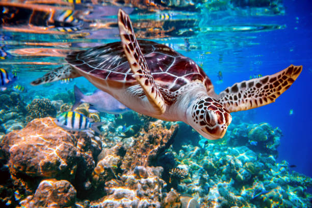 sea turtle swims under water on the background of coral reefs - tartaruga marina foto e immagini stock