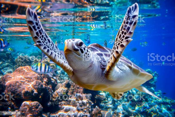 Sea turtle swims under water on the background of coral reefs picture id1063280176?b=1&k=6&m=1063280176&s=612x612&h=f9ei2r0asy7qjgm15oovl9hu3lmi0xvb 1bufutmd1a=