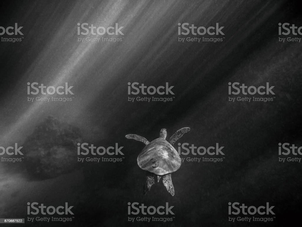 Sea Turtle Swims with Black and White Sun Beams Lighting Back stock photo
