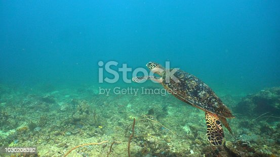 Sea turtle between corals underwater. Wonderful and beautiful underwater world. Diving and snorkeling in the tropical sea, Philippines, Mindoro.