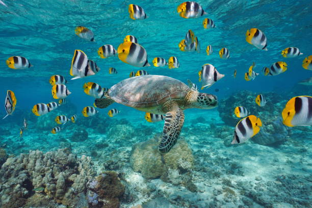 Sea turtle with school of fish French Polynesia A green sea turtle with a school of tropical fish underwater (butterflyfish), lagoon of Bora Bora, Pacific ocean, French Polynesia south pacific ocean stock pictures, royalty-free photos & images