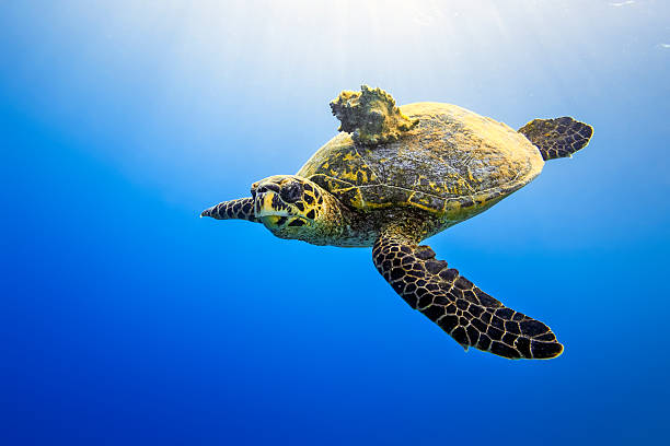 Sea turtle with Seashell on blue ocean A sea turtle (hawksbill turtle) carries a sea snail (Seashell) on her tortoiseshell. symbiotic relationship stock pictures, royalty-free photos & images